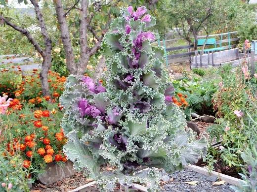 декоративная капуста, выращивание и уход - осенью на дачной клумбе