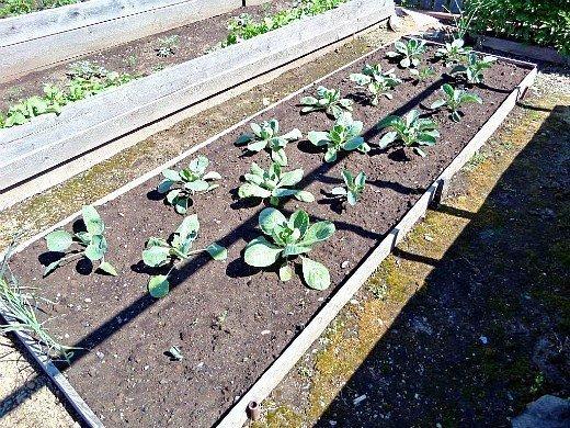 как правильно поливать овощи - капуста