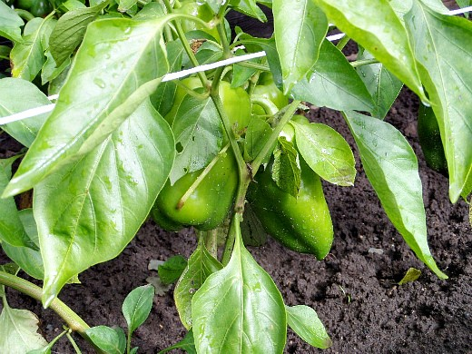 как правильно поливать овощи - перец