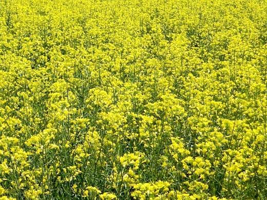 какие сидераты сеять осенью и весной - рапс озимый