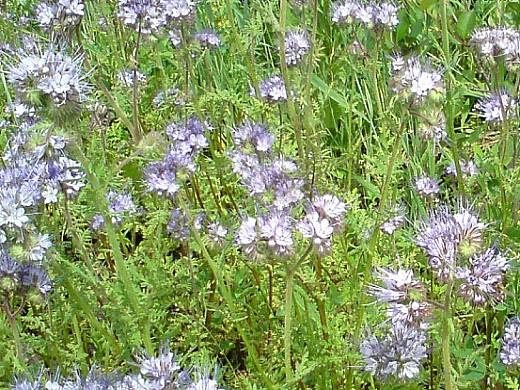 какие сидераты сеять осенью и весной - редька масленичная