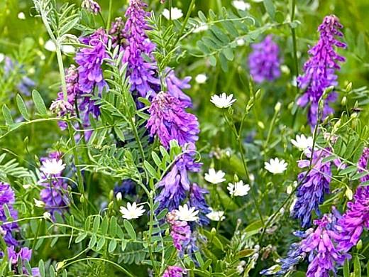 какие сидераты сеять осенью и весной - вика озимая