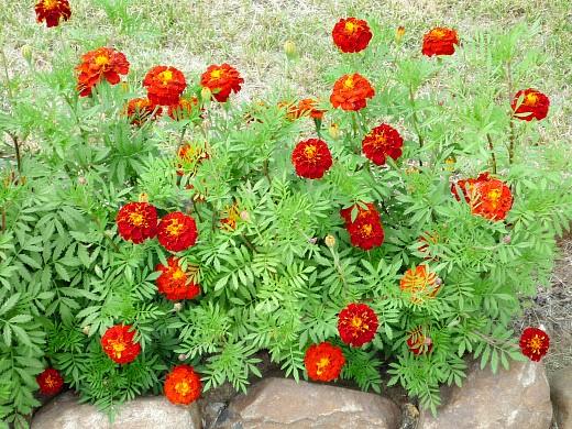 цветы для клумбы на даче - бархатцы