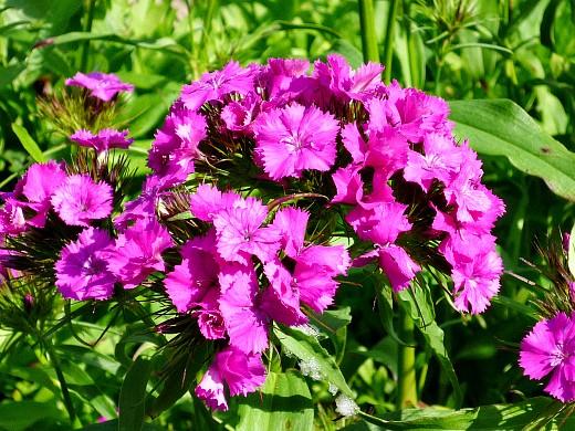 цветы для клумбы на даче - турецкая гвоздика