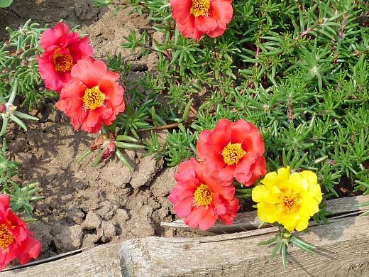 цветы для клумбы на даче - портулак декоративный