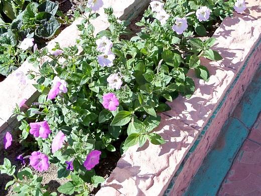 цветы для клумбы на даче - петуния простая