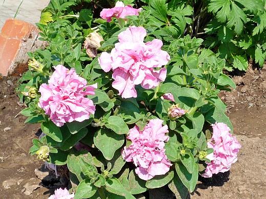 цветы для клумбы на даче - петуния махровая
