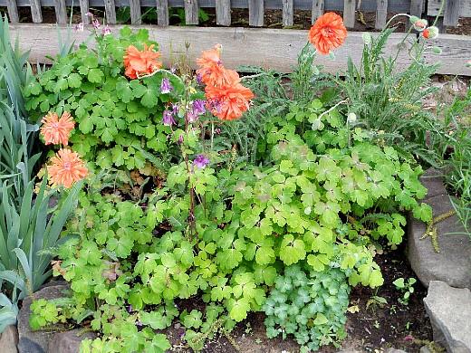 цветы для клумбы на даче, маки и водосбор
