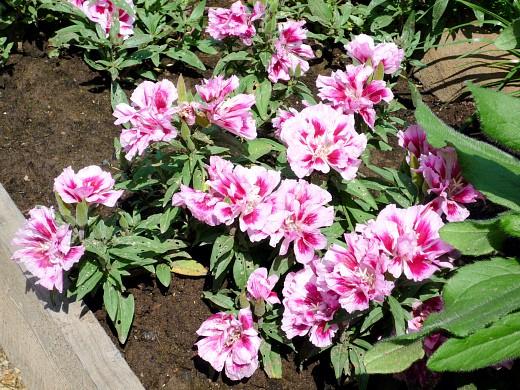 цветы для клумбы на даче 0 годеция