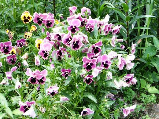 цветы для клумбы на даче - виола