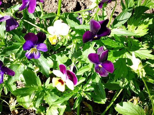 цветы для клумбы на даче - анютины глазки