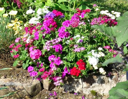 цветы для клумбы на даче - однолетние флоксы