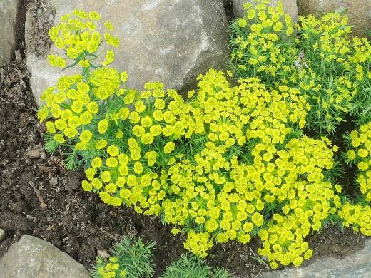 цветы для клумбы на даче - седум