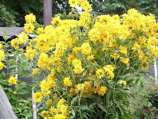 цветы для клумбы на даче - рудбекия золотой шар