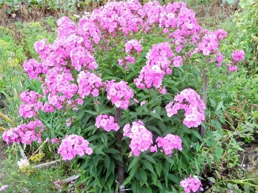 цветы для клумбы на даче - флоксы многолетние