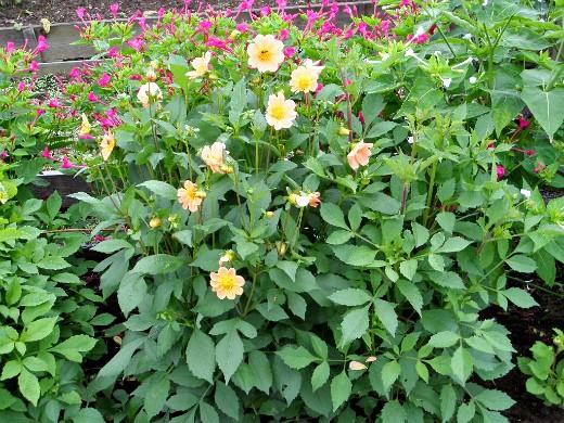 цветы для клумбы на даче - георгины однолетние