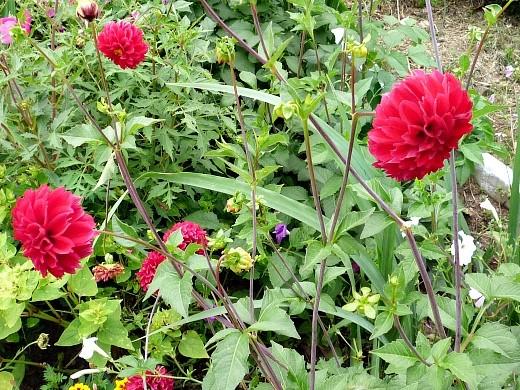 цветы для клумбы на даче - георгины многолетние