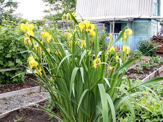 цветы для клумбы на даче - ирисы