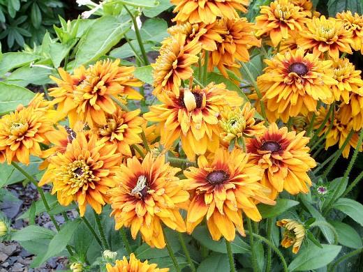 цветы для клумбы на даче - рудбекии