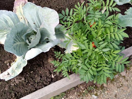 цветы и овощи на одной грядке, капуста и бархатцы