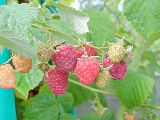 агротехника выращивания малины 1-1