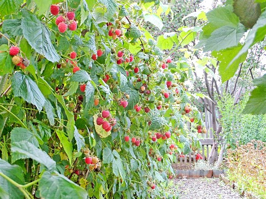 агротехника выращивания малины 1-3