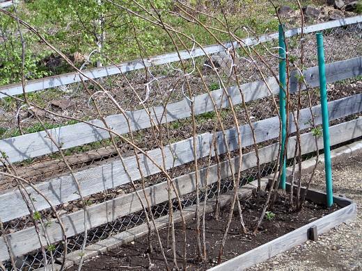 агротехника выращивания малины 1-5