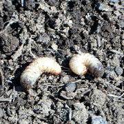 как избавиться от личинок майского жука 1-2