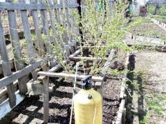 Обработка кустов смородины и крыжовника осенью
