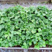 обрезка клубники после сбора урожая 1