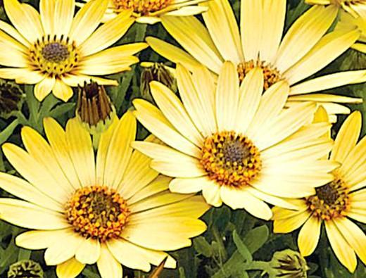 остеоспермум, выращивание из семян и черенками - на клумбе