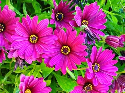 цветы остеоспермум, выращивание из семян и черенками - на даче
