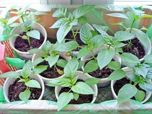 посадка и выращивание перцев в теплице - пикирование