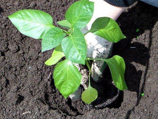посадка и выращивание перцев в теплице - посадка в землю