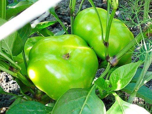 посадка и выращивание перцев в теплице - желтый сорт