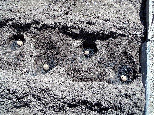проращивание картофеля перед посадкой - клубни в лунках