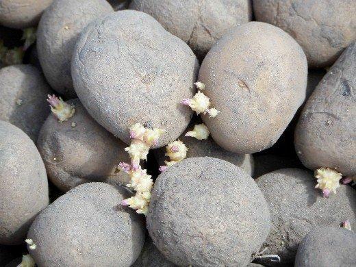проращивание картофеля перед посадкой - ростки у клубней