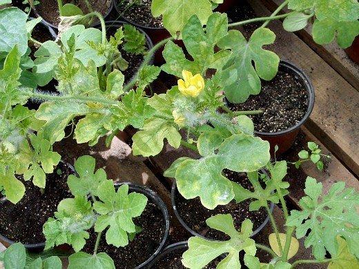 выращивание огурцов в теплице - рассада