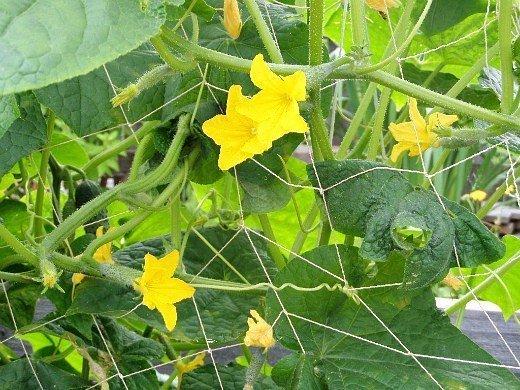 выращивание огурцов в теплице - цветение и завязи