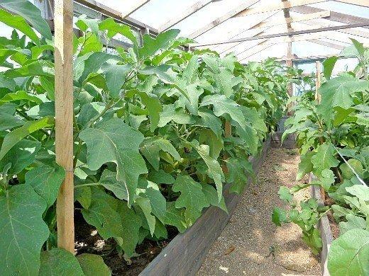 выращивание растений в теплице - баклажаны