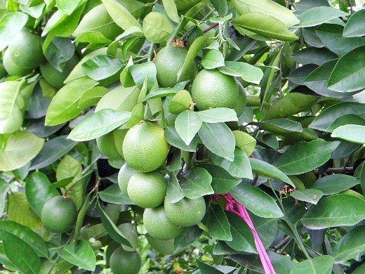 выращивание растений в теплице - лимоны