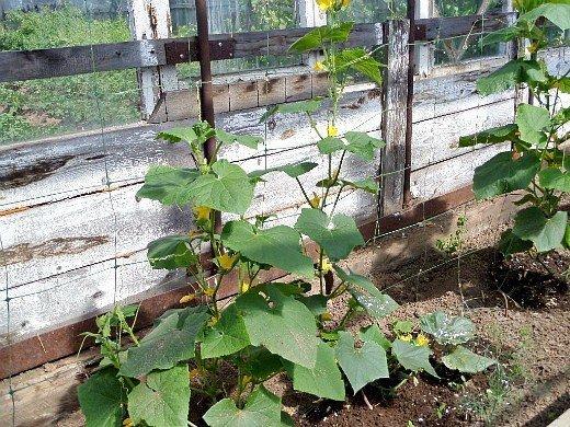 выращивание растений в теплице - огурцы