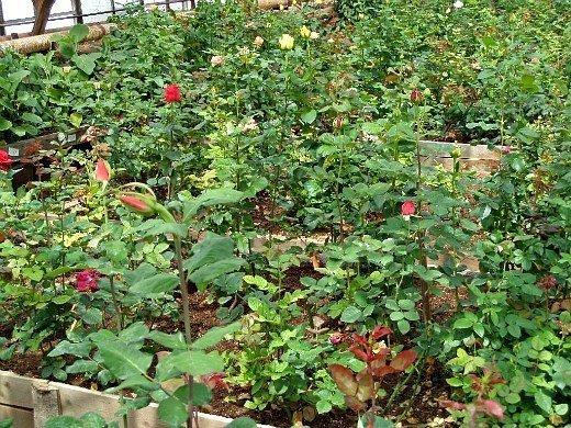 выращивание растений в теплице - розы