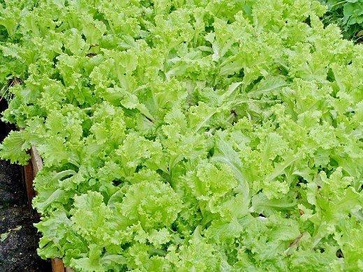 выращивание растений в теплице - салат