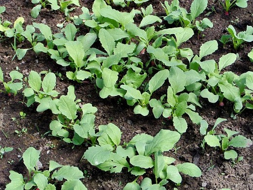 выращивание редиса в теплице - всходы