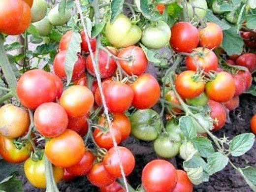 выращивание штамбовых томатов, сорта для открытого грунта 2
