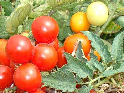выращивание штамбовых томатов, сорта для открытого грунта 3