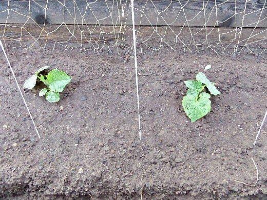 агротехника выращивания огурцов - расстояние между рассадой