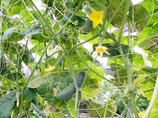 агротехника выращивания огурцов - спелые огурцы и завязи