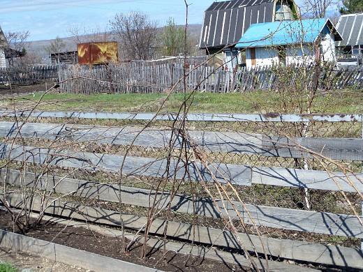 Обрезка ремонтантной малины осенью, весной и летом